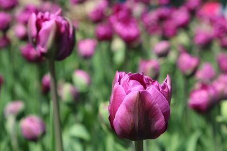 tulipan: Różowe tulipany z bliska