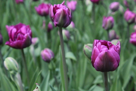 Beautyful růžové tulipány Reklamní fotografie
