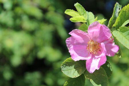 Květ psa růže roste v přírodě Reklamní fotografie