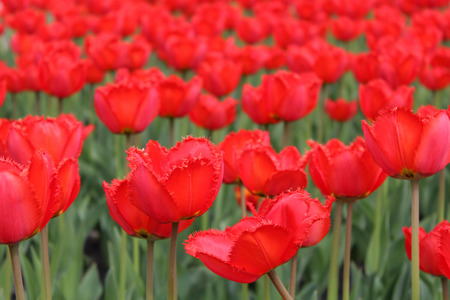 Field of red tulips clouse up