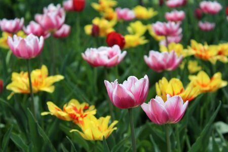 Delicate spring multi colored tulips