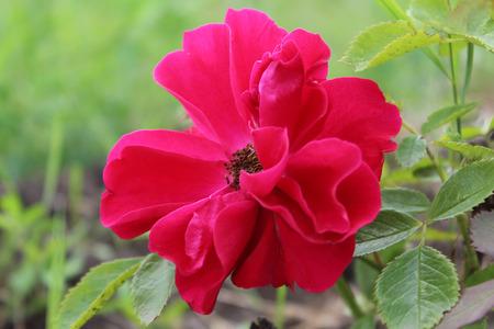 beautyful: Beautyful roses on a bush in a garden