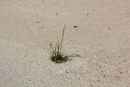 strong toughness: Survival  Grass with difficulty breaking through concrete in the urban environment Stock Photo