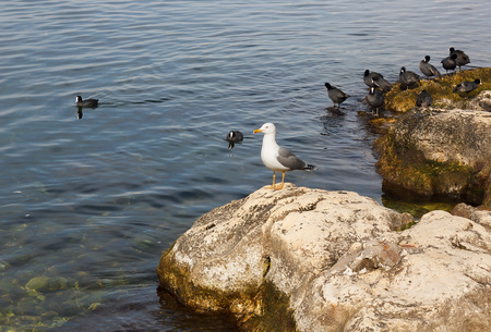 wintering: Crimea. Sevastopol. Herring gull sitting on coastal boulders. Coots wintering on the coast. Stock Photo