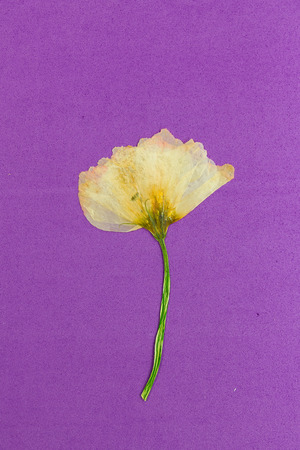 Bright pressed and dried yellow flower on a purple background.  스톡 콘텐츠