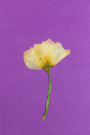 밝은 누르면과 보라색 배경에 노란색 꽃을 건조. 스톡 콘텐츠