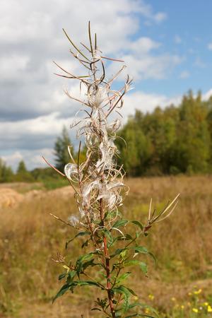 angustifolium: Dry flower fireweed (Chamerion angustifolium) on blurred background of autumn landscape.
