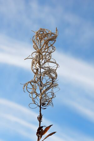 angustifolium: Dry flower fireweed (Chamerion angustifolium) against the blue autumn sky.