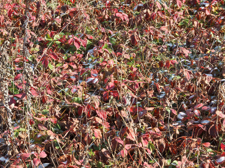 sleet: Snow on red leaves of grass in early autumn. A bright, frosty day. Stock Photo