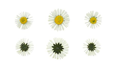 p�querette: Set de fleurs press�e et s�ch�e daisy retir� de l'avant et l'arri�re. Isol� sur fond blanc Banque d'images