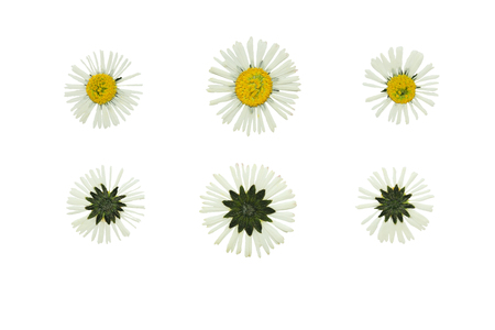 daisy: Set of pressed and dried flowers daisy removed from the front and the back. Isolated on white background