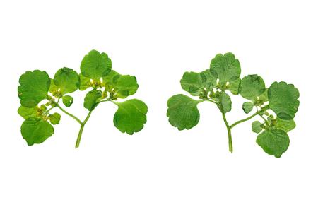 alchemilla: Pressate ed essiccate fiore Alchemilla Vulgaris girato dalla parte anteriore e la parte posteriore del fiore. Isolato su sfondo bianco.