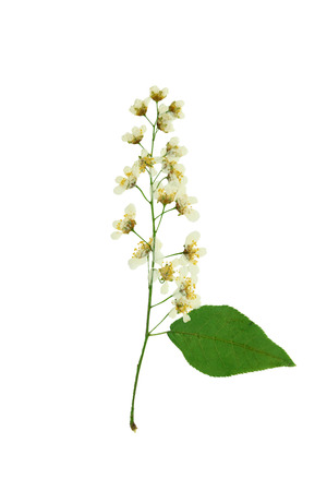 Pressed and Dried Flowers brush white bird-cherry. Isolated on white background.