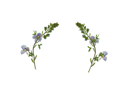 Pressed and Dried flower  Veronica officinalis shot from the front and the back of the flower. Isolated on white background.