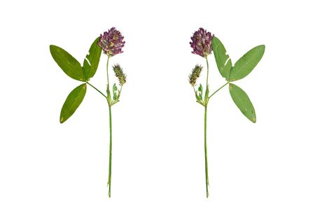pretense: Pressed and Dried flower red clover or trifolium pratense  photographed from the front and back side of the flower. Isolated on white background.