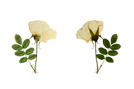 Pressed and dried flower on a stalk wild rose photographed from the front and back of the flower. Isolated on white background.