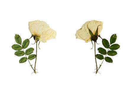 스토킹 야생에 프레스, 말린 꽃은 앞면과 꽃의 뒷면에서 촬영했다. 흰색 배경에 고립입니다.