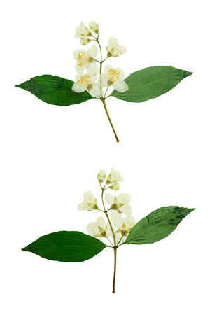 Pressed and Dried flower Jasmine  photographed from the front and back side of the flower. Isolated on white background.
