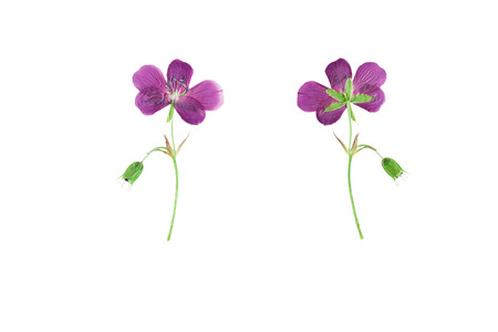 Pressed and Dried flower  Geranium pratense  photographed from the front and back side of the flower. Isolated on white background.