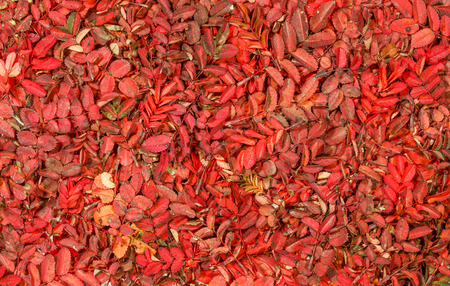 wild rose: Bright autumnal carpet. Patterns of red leaves of wild rose Stock Photo