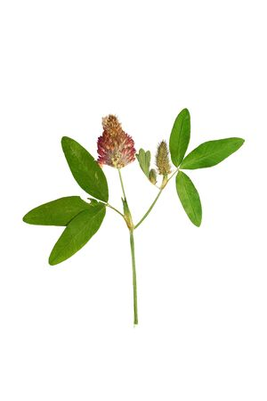 red clover: Pressed and Dried flower  red clover or trifolium pratense  . Isolated on white background. Stock Photo