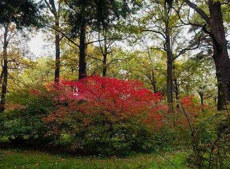 burning bush: Beautiful autumn Euonymus Bush of bright crimson against the background of dark trees.