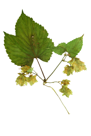 humulus: Pressed and Dried hop (humulus lupulus) female flowers with green leaves. Isolated on white background.