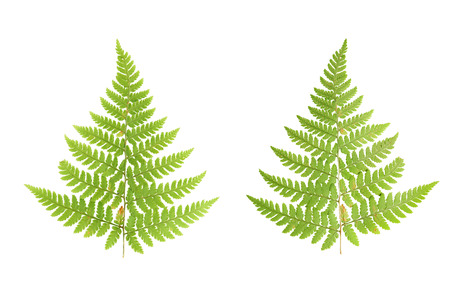 fern: Pressed and dried leaves of ferns photographed from the front and back sides of the leaf. Isolated on white background