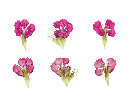 magenta flowers: Set of pressed and dried magenta flowers sweet-william (dianthus barbatus), isolated on a white background Stock Photo