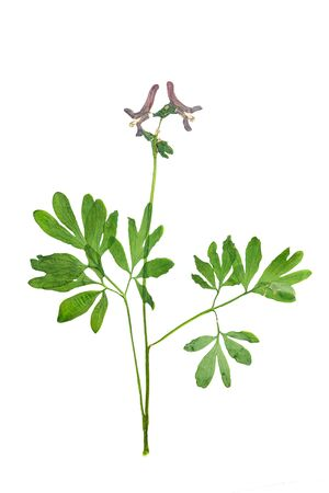 corydalis: Pressed and Dried corydalis cava flowers with green leaves. Isolated on white background.