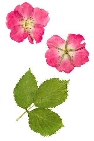 장미 꽃잎과 밝은 녹색 잎이 엉덩이에 눌려 건조되었습니다. 흰색 배경에 고립. 스톡 콘텐츠