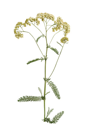 Pressed and dried yarrow stalk with carved green leaves. Isolated on white background.