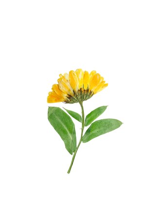 Pressed and dried delicate flower of calendula officinalis(marigold). Isolated on white background.