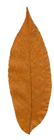 dried leaf: Pressed and dried leaf manchurian walnut isolated on white background.