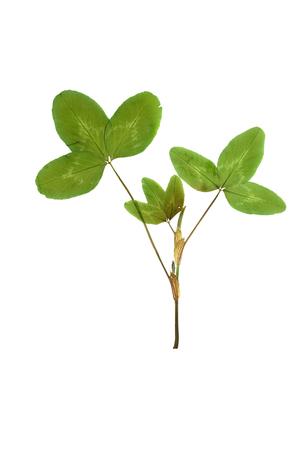 trifolium: Pressed and dried leaf trifolium pretense (clover) isolated on white background. Stock Photo