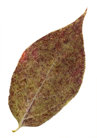 vinous: Pressed and dried vinous leaf pears isolated on a white background.