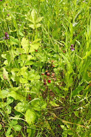 ecologic: Brush ripe wild strawberry in a clearing in the grass close-up. Natural ecologic food.