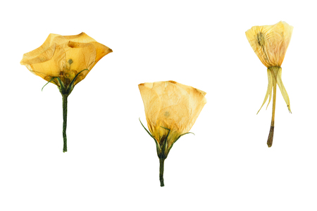 Pressed and dried three delicate transparent flower of bindweed. Isolated on white background.