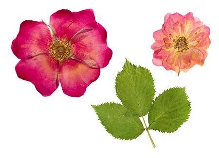 押すし、繊細な透明の花と明るい緑の葉ローズヒップを乾燥します。白い背景上に分離。 写真素材