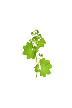 Gepresste und getrocknete Blume Alchemilla vulgaris. Isoliert auf weißem Hintergrund. Standard-Bild - 56445198