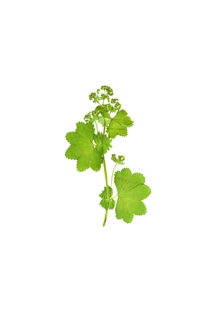 Pressed and dried flower  Alchemilla vulgaris. Isolated on white background.