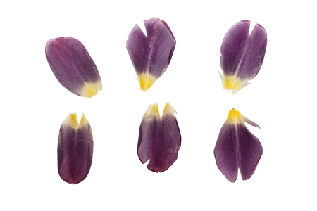 dark purple: Pressed and dried delicate dark purple petals of tulip flowers. Isolated on white background.
