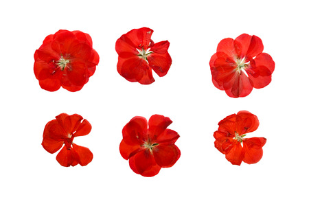 Pressed and dried delicate red flowers and petals of geranium (pelargonium). Isolated on white background. 스톡 콘텐츠