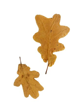 floristry: Pressed and dried brown leaf oak isolated on white background. Herbarium,  oshibana, pressed floristry.