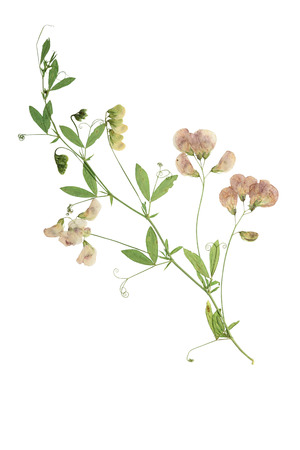 Pressed and dried flower  forest peas. Forest peas isolated on white background. Zdjęcie Seryjne - 56655813