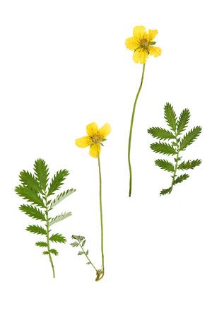 프레스와 꽃을 건조하고 녹색 새겨진 흰색 배경에 고립 양지 anserina을 떠난다. 스톡 콘텐츠 - 56656203