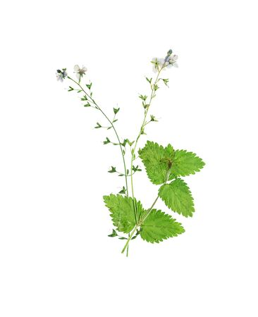 veronica flower: Pressed and dried flower  Veronica officinalis. Isolated on white background.