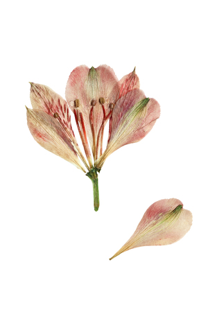 Pressed and dried flower alstroemeria. Isolated on white background. Zdjęcie Seryjne