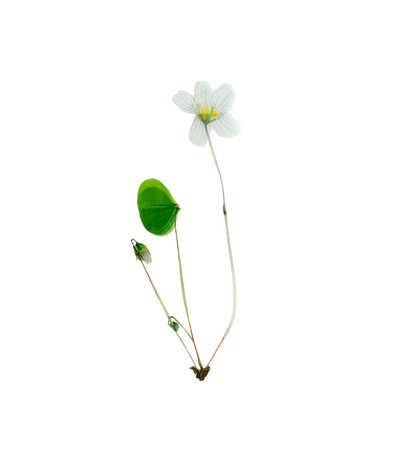 Pressed and dried delicate flower oxalis. Isolated on white background. Imagens