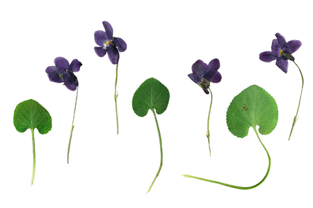 Set of pressed and dried dark purple flowers and green leaves forest violets. Isolated on white background.